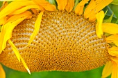 Close up of a Giant Sunflower