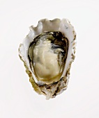 Oyster in Half Shell on White Background