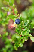 A blueberry on a bush