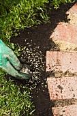 Rasensamen um die Beeteinfassung herum auf die Erde streuen