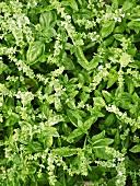 Flowering basil (full frame)
