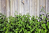 Stinging nettles growing against a wooden fence
