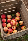 Fresh Picked Apples in a Crate