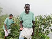 Arbeiter pflücken Kaffeebohnen