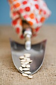 Hand holding garden trowel with seeds