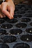 Mangold anpflanzen: Samen in die Anzuchterde im Anzuchttablett einsetzen
