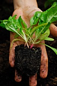 A hand holding a chard seedling