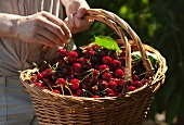 Woman holding basket of cherries