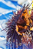 Sea Urchin; Close Up