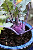A kohlrabi plant with a growing bulb and energetic leaves in a blue ceramic pot filled with bark mulch and positioned in daylight