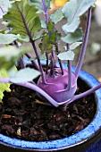Kohlrabipflanze mit wachsender Knolle und vitalen Blättern in mit Rindenmulch gefülltem blauem Keramiktopf im Tageslicht stehend