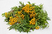 Tansy with flowers, chopped for broth