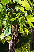 A vine with unripe grapes in early summer