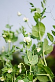 Pea plants with flower