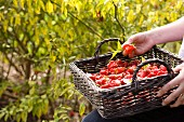 Freshly picked habanero chillies in square wicker basket held in hands and bathed in sunshine