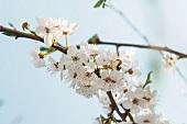 Wilde Pflaume: Zweig mit Blüten