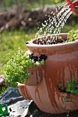 Watering herbs in a terracotta pot