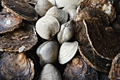 Oysters and Venus clams