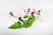 Clary sage (Salvia sclarea)