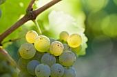 White wine grapes in sunshine
