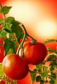 Zwei Tomaten an der Pflanze vor roter Hintergrund