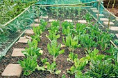 Neat vegetable patch with protective netting