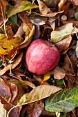 An apple in a pile of autumnal leaves