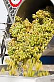 Green Pignoletto grapes being shaken into a destemming machine