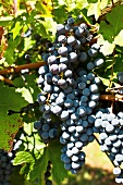 Sangiovese grapes in sunlight