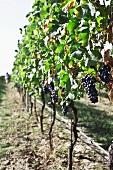 Barbera grapes in sunlight