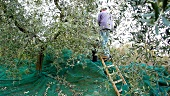 A man harvesting olives, Umbria, Italy