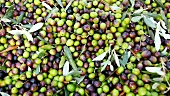 Olives (filling the image), Umbria, Italy