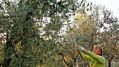 A woman harvesting olives, Umbria, Italy