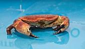 A live crab