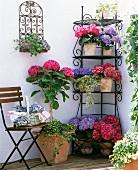 Prächtig blühenden Hortensien in lila und pink auf filigranem Eckregal