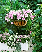 Ampelkorb mit rosa Hängepetunien und silberlaubigen Helichrysum auf sommerlichem Balkon