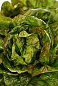 Burgundy lettuce