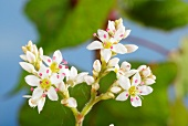 Buckwheat flowers (fagopyrum cymosum)