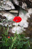 A bright red poppy