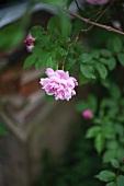 A hanging rose