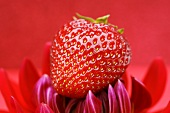 A strawberry on a red dahlia