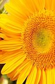 Yellow Sunflower; Close Up