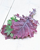 Leaves of kale (Brassica oleracea var. sabellica)