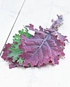 Blätter vom Grünkohl (Brassica oleracea var. sabellica)