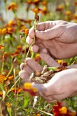 Hands picking faded tagetes to collect seeds