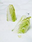 Chinese cabbage in the snow