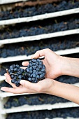 Hands holding fresh grapes
