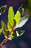 Bay leaves in the sun