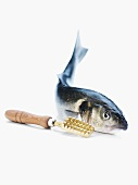 A bass with a fish scaler
