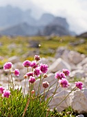 Wild flowers in a national park in the Dolomites